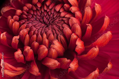 Red chrysanthemum flower head Fototapete