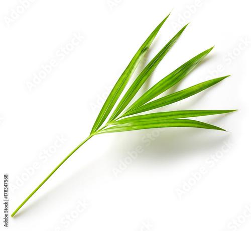 leaf of Areca palm Canvas Print