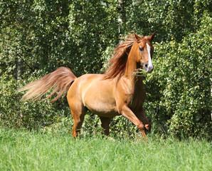 Beautiful arabian horse running in freedom