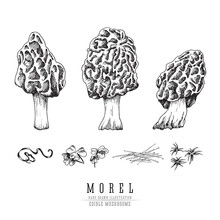 Morel Mushrooms Vector Sketch ...