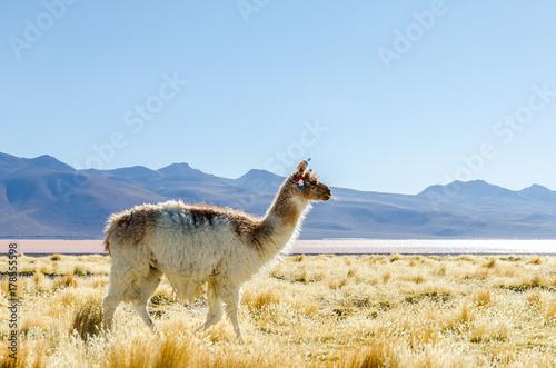 Lama français, Sud Lipez, Bolivie