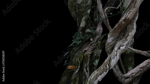 Twisted wild liana big jungle vines plant with moss, lichen and wild climbing orchid leaves on black background Canvas Print