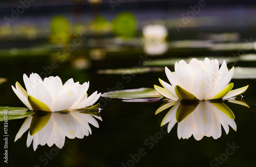 Photo Stands Water lilies water lily Beautiful lotus flower is the symbol of the Buddha