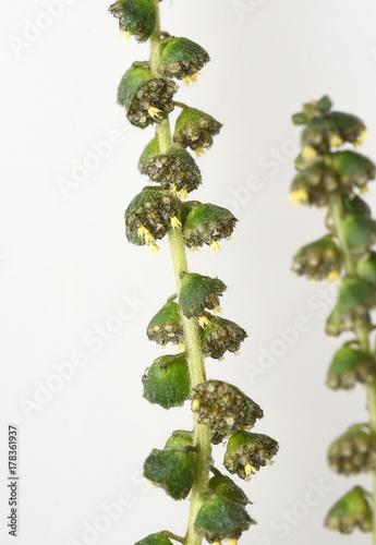 Photographie Ambrosiabluete, Ambrosia, artemisiifolia