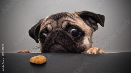 Poster Chien dog pug