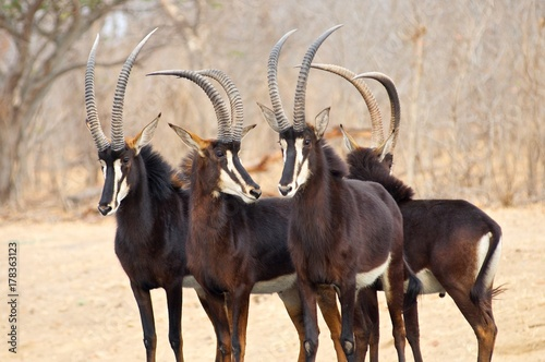 The mighty Sable antelope preparing for battle with African Wild Dogs.