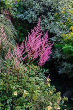 Pink Astilbe Flowers Growing I...
