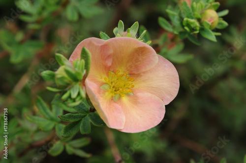 Fényképezés  Shrubby cinquefoil flower