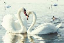 White Swans.