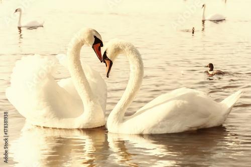Poster Cygne White swans.