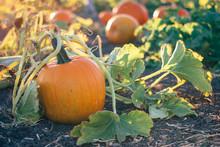 Pumpkins On The Vine In A Garden Pumpkin Patch During Golden Hour