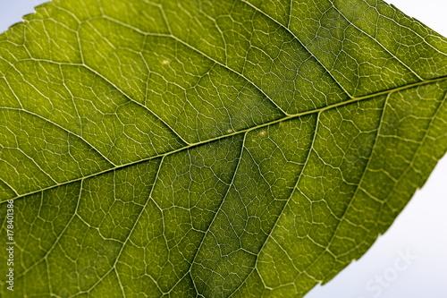Fotografia, Obraz  foglia di ciliegio