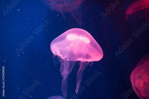 Plakat Półprzezroczyste różowe jellyfish w ciemnej wodzie.