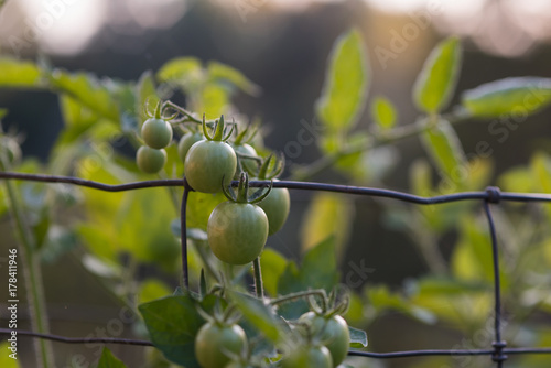 Wall Murals Young tomatoes growing on a vine