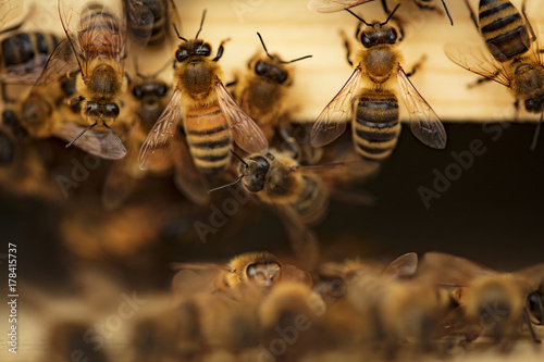 Photo sur Toile Bee Bees