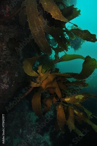 Fototapeten Wald Brown stalked kelp Ecklonia radiata growing on dark vertical rocky wall.