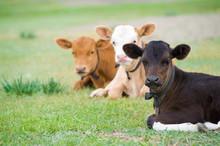 Lying Calves