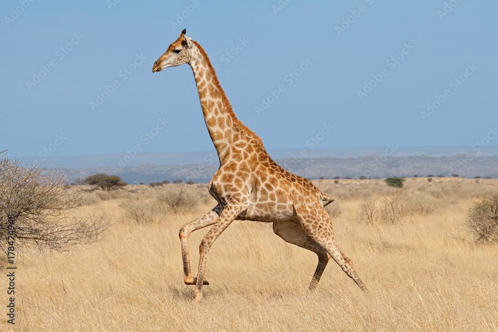 Giraffe (Giraffa camelopardalis) running on the African plains, South Africa.