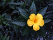 Yellow Flower with the very dark color leaves on the background