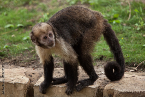 Golden-bellied capuchin (Sapajus xanthosternos) Canvas-taulu