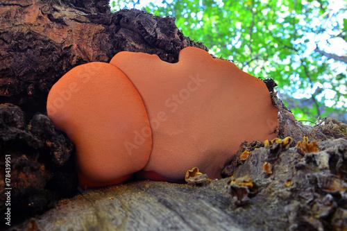 Fotografia, Obraz  fistulina hepatica mushroom
