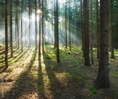 Fototapeta Spruce Tree Forest, Sunbeams through Fog obraz na płótnie