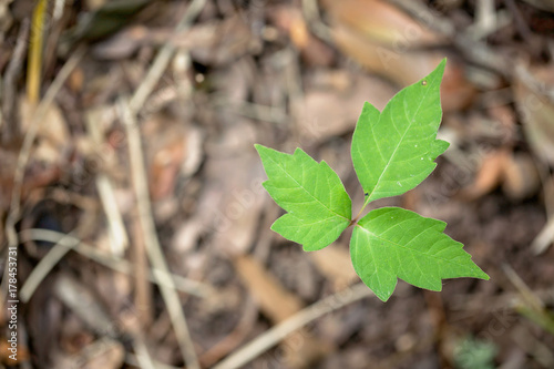 Fotografie, Obraz  Poison Ivy
