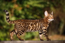 Bengal Cat Hunting Outdoor, Wa...