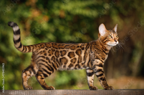 Photo  Bengal Cat Hunting outdoor, Walk on plank, nature green background