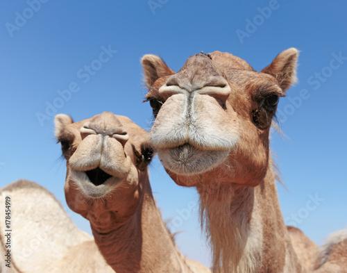 Spoed Fotobehang Kameel camels in the desert