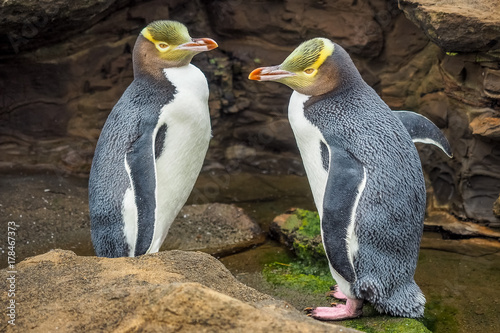 Spoed Foto op Canvas Pinguin Tow Yellow Eyed Penguins are in the wild. New Zealand native penguin.