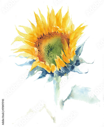 Sunflower Single Flower Summer Yellow Watercolor Painting Illustration Isolated On White Background