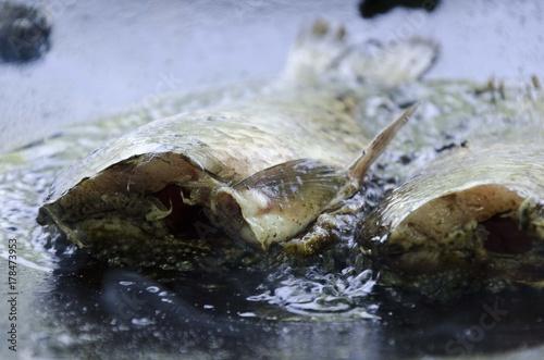Plakat gruchanie ryb na oleju