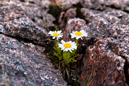Fotobehang Poolcirkel arctic dwarf daisies grew in a crack in the rock