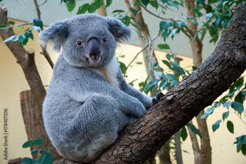 Cute marsupial bear of a koala sitting on a tree