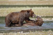 Coastal Brown Bears Playing Wi...