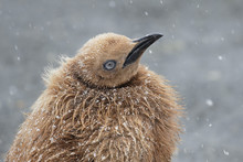 King Penguin Chick Oakum Boy H...
