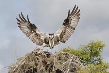 Osprey Landing On A Nest With ...