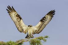 Osprey Landing On A Cypress Tr...