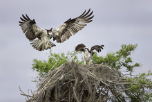 Osprey Landing On A Cypress Tree Nest With Spanish Moss In Florida