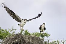 Osprey On A Cypress Tree Nest ...