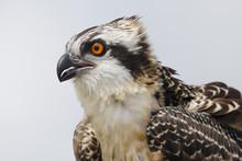 Osprey Chick Head Portrait In Florida