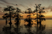 Osprey Flying With Cypress Trees At Sunset On Lake In Florida