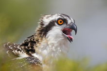 Osprey Chick Head Portrait Wit...