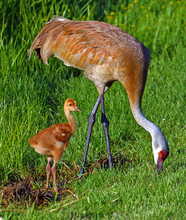 Sandhill Cranes With Hatchling