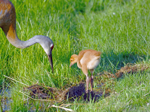 Fotografie, Obraz  Sandhill Crane chick learning to forage