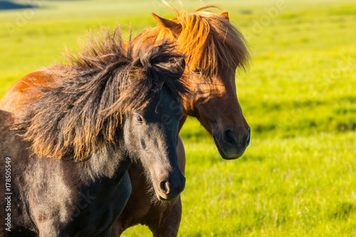 Cuadros en Lienzo two icelandic horses close up