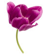 One lilac tulip flower isolated on white background cutout