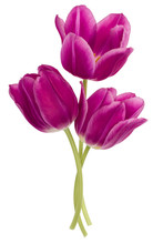 Three Lilac Tulip Flowers Isol...