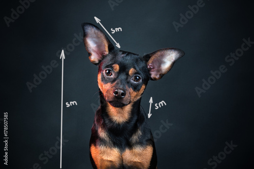 Fotografering  Portrait of a dog studio , toy terrier
